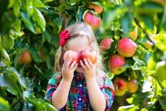 Liten flickaplockningäpplen från träd i en fruktfruktträdgård Royaltyfri Fotografi
