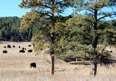 Liten flock av buffeln som betar på prärien royaltyfria foton