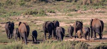 Liten flock av elefanter i den Kruger nationalparken Arkivfoto