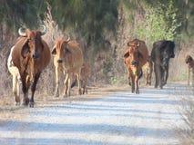 Liten flock av kor på äng Arkivfoto