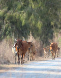 Liten flock av kor på äng Fotografering för Bildbyråer