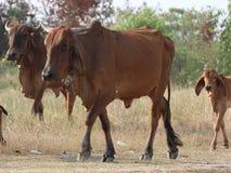 Liten flock av kor på äng Royaltyfri Foto