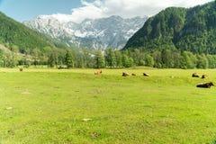 Liten flock av kor som äter nytt gräs på en organisk lantgård med härliga bergfjällängar i baksidan arkivfoto