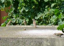 Liten flock av sparvar som står på betongväggen Arkivfoton