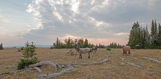 Liten flock av vildhästar som betar bredvid deadwoodjournaler på solnedgången i området för Pryor bergvildhäst i Montana USA arkivbilder