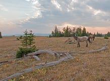 Liten flock av vildhästar som betar bredvid deadwoodjournaler på solnedgången i området för Pryor bergvildhäst i Montana USA Royaltyfri Foto