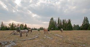 Liten flock av vildhästar som betar bredvid deadwoodjournaler på solnedgången i området för Pryor bergvildhäst i Montana USA Royaltyfri Fotografi