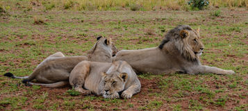 Liten flock med lejon Royaltyfria Foton
