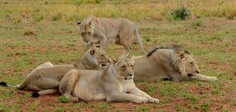 Liten flock med lejon Royaltyfri Bild