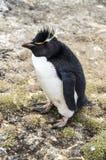 LITEN FLUFFIG PINGVIN Arkivbilder