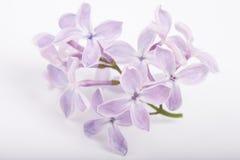 Liten frunch av lilan blommar closeupen på vit bakgrund Arkivfoton