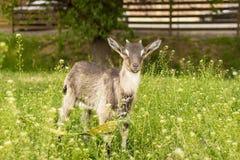 Liten get med små horn och stora öron royaltyfria foton