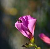 Liten geting inom en blomma för morgonhärlighet Arkivfoton