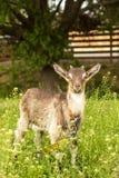 Liten goatling closeup arkivfoto