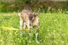 Liten goatling med horn på en koppel i fältet royaltyfri bild