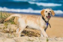 Liten golden retriever som undersöker strandomgivningen Royaltyfri Bild