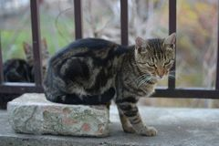 Liten grå färgsvart färgade katten på röd bricket royaltyfria bilder