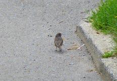 Liten grå fågel bredvid en trottoarkant Arkivbild