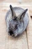 Liten grå kanin Royaltyfri Foto