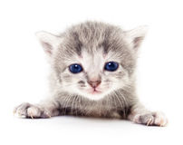liten grå kattunge Royaltyfria Foton