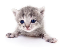 liten grå kattunge Royaltyfri Bild