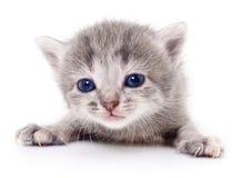 liten grå kattunge Arkivbild