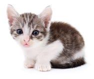 liten grå kattunge Royaltyfri Foto