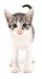liten grå kattunge Arkivfoto