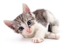 liten grå kattunge Royaltyfria Bilder