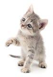 liten grå kattunge Arkivfoton