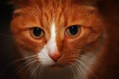 Liten grå kattunge på hennes varv royaltyfri bild