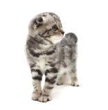 Liten grå slokörad kattunge som isoleras på vit bakgrund Royaltyfri Bild