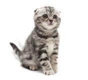 Liten grå slokörad kattunge som isoleras på vit bakgrund Royaltyfria Foton