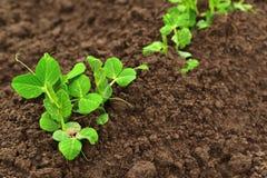 Liten grön ärta som växer i trädgård Arkivfoto