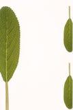 liten grön ört Arkivfoton