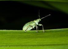 Liten grön bettle på bladet royaltyfri foto