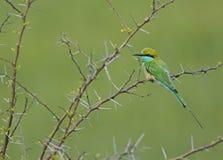 Liten grön biätare Royaltyfria Bilder