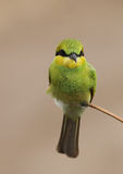 Liten grön biätare fotografering för bildbyråer