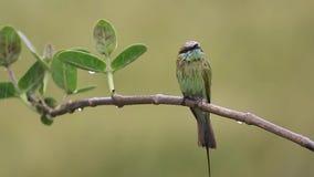 Liten grön biätare i regn arkivfilmer