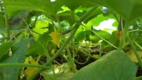 Liten grön fruktäggstock med den gula blomman på gurkaplantan, ultrarapid lager videofilmer