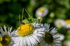 Liten grön gräshoppa på kamomillen flower_DSC2137 arkivfoton