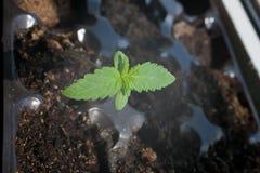 Liten grön medicinsk groddmarijuana Arkivfoto
