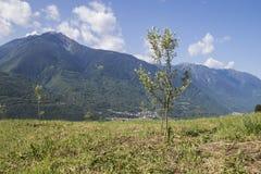 Liten grön olivträd mycket av sidor och berg med en blått Royaltyfria Foton