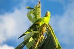 Liten grön papegoja på bananträdfilial Royaltyfri Foto