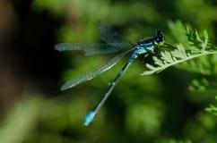 Liten grön slända Fotografering för Bildbyråer
