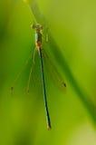 Liten grön slända på en stjälk av gräs Arkivfoto