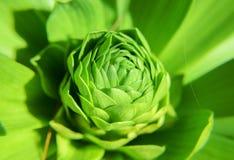 Liten grön växt som växer och framkallar dess knopp Arkivbild