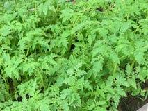 Liten grönsak i träasken Royaltyfria Bilder