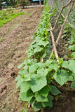 Liten grönsakzucchini Arkivbild