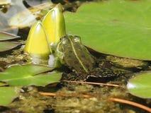 Liten gr?n vattengroda p? kurtis fotografering för bildbyråer